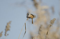 Male Bearded Tit (panurus biarmicus) Royalty Free Stock Photography