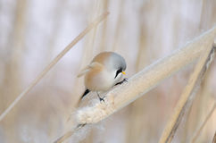 Male Bearded Tit (panurus biarmicus) Royalty Free Stock Images