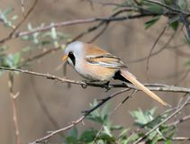 A Male bearded tit on the reed. Close up view in natural habitat stock image