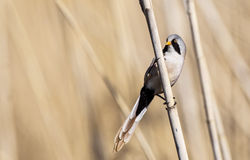 Male Bearded Tit on Reed Royalty Free Stock Images