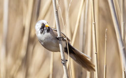 Male Bearded Tit on a Reed Stock Image