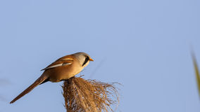 Male Bearded Tit on Reed Tassel Royalty Free Stock Photo