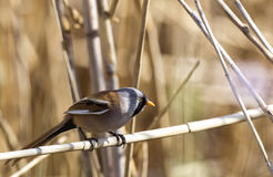 Male Bearded Tit among Reeds Royalty Free Stock Photography
