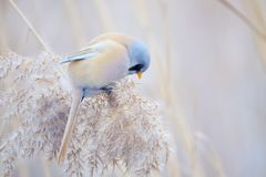 Bird on reed tassel. The male Bearded Tit stands on tassel of winter reed. Scientific name: Panurus biarmicus royalty free stock photos