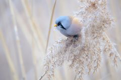 Bird on reed tassel. The male Bearded Tit stands on tassel of winter reed. Scientific name: Panurus biarmicus royalty free stock photo