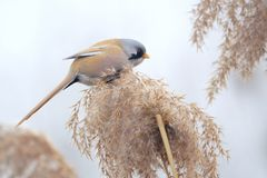Bird on reed tassel. The male Bearded Tit stands on tassel of winter reed. Scientific name: Panurus biarmicus royalty free stock photography