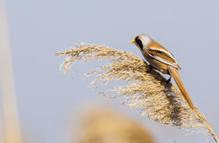 Male Bearded Tit on Top of a Reed Stock Image