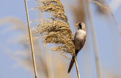 Male Bearded Tit on Top of a Reed Royalty Free Stock Images