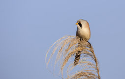 Male Bearded Tit on Top of Reed Tassel Stock Photography