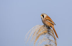 Male Bearded Tit on Top of Reed Tassel Royalty Free Stock Photography
