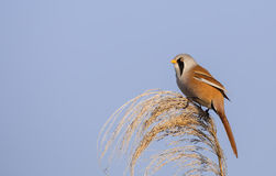 Male Bearded Tit on Top of Reed Tassel Stock Photo