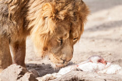 Male beautiful big lion looking in prey Royalty Free Stock Photography