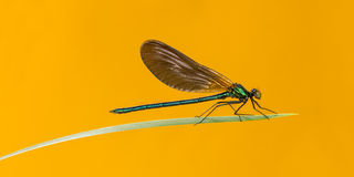 Male beautiful demoiselle, Calopteryx virgo Royalty Free Stock Photos