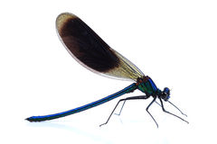 Male of Beautiful demoiselle (Calopteryx virgo) isolated on whit Royalty Free Stock Image