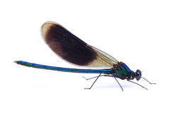 Male of Beautiful demoiselle (Calopteryx virgo) isolated on white Royalty Free Stock Image