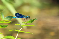 Male beautiful demoiselle Stock Photo