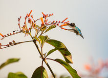 Male Bee Hummingbird in flight stock photography