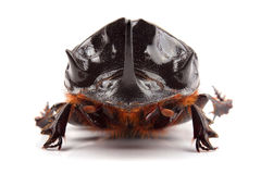 Male of beetle (Copris lunaris) isolated on white. Background Royalty Free Stock Photo