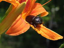 The male beetle-Rhino. The flowers Lily Royalty Free Stock Photo
