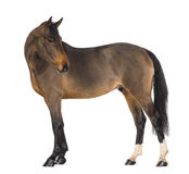Male Belgian Warmblood, BWP, 3 years old Royalty Free Stock Photography