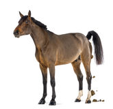 Male Belgian Warmblood, BWP, 3 years old, defecating Royalty Free Stock Photography
