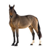 Male Belgian Warmblood, BWP, 3 years old, looking at camera Royalty Free Stock Images