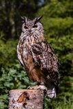 Male Bengal Eagle Owl perched on a tree stump royalty free stock photography