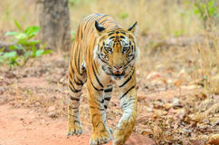 Male Bengal Tiger walk. Male Bengal tiger at Bandhavgarh National Park, India Stock Photo