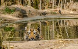 Male Bengal Tiger. At Bandhavgarh National Park, India enjoying summer in water pond Royalty Free Stock Image