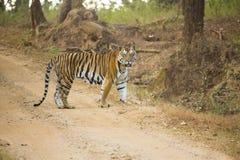 Male Bengal Tiger, Kanha, India Stock Images