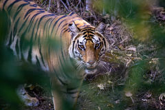 Bengal Tiger, Bandhavgarh National Park, India Royalty Free Stock Images