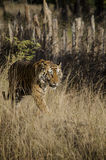 A Male Bengal Tiger walking along a forest path. While marking its territory.Image taken at a national park in Madhya Pradesh,India in the month of January in Royalty Free Stock Image