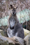 The male, Bennett's wallaby, Macropus rufogriseus Royalty Free Stock Photo