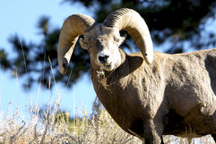 Male big horn sheep. A big horn sheep with a humorous expression Stock Photos