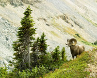 Male big horn sheep Stock Photography