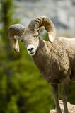 Male big horn sheep. Rocky mountain male Big Horn sheep Royalty Free Stock Photos