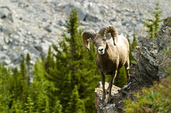 Male big horn sheep. Rocky mountain male Big Horn sheep Royalty Free Stock Photo