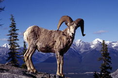 Male Big Horn Sheep. Against a snow covered mountain backdrop. Sulphur Mountain, Banff NP, Alberta Canada Stock Photo