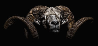 Male Bighorn Argali sheep portrait royalty free stock images