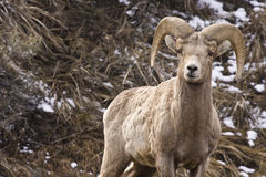 Male Bighorn ram Stock Photography