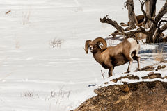 Male Bighorn Sheep. Male Rocky Mountain Bighorn Sheep Standing at Rocky Ledge in Winter Stock Images