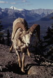 Male Bighorn Sheep. At high altitude, Sulphur Mountain, Banff NP, Alberta, Canada Stock Photo