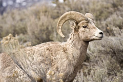 Male Bighorn sheep Royalty Free Stock Images