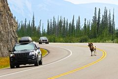A male bighorn sheep crosses a busy highway on blind corner.  Stock Image