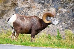A male bighorn sheep eats along a highway Stock Images