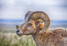 Male Bighorn Sheep With Horns. An old male bighorn sheep (ovis canadensis) with large curving horns stands in profile against the rolling prarie of the Badlands Royalty Free Stock Image