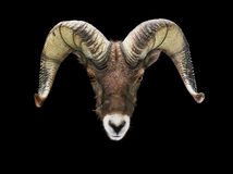 Male Bighorn sheep isolated looking at camera. Close-up frontal on male Bighorn sheep looking at camera isolated on black background Stock Images