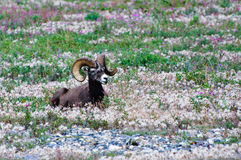 Male Bighorn Sheep with large horns Royalty Free Stock Photo