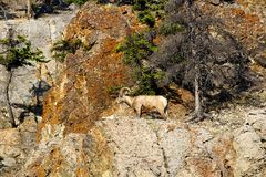 A male bighorn sheep on a mountain wall.  Royalty Free Stock Photo