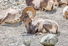 Male Bighorn Sheep on a mountainside. Male Bighorn Sheep lying on a mountainside in Yellowstone National Park, Wyoming Royalty Free Stock Photo